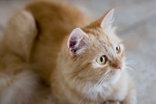 Free Rufous Cat Lying On Ceramic Tile Royalty Free Stock Images - 4265179