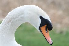 Free Swan Stock Photography - 4266672