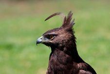 Free Eagle Royalty Free Stock Photos - 4267788