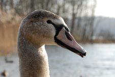 Free Swan Royalty Free Stock Photos - 4268478