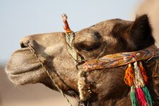 Free Camel Portrait Stock Image - 4268691