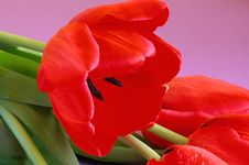 Free The Most Beautiful Tulips Are For You! Royalty Free Stock Photo - 4269065