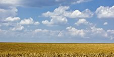 Free Wheat Field Royalty Free Stock Photo - 4269405