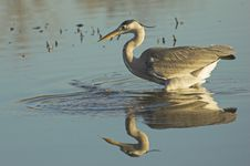 Free Grey Heron Stock Photography - 4269882