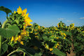 Free Field Of Sunflowers Royalty Free Stock Photos - 4274198