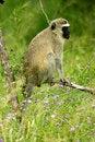 Free Vervet Monkey Stock Photos - 4275113