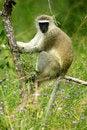 Free Vervet Monkey Royalty Free Stock Image - 4275116