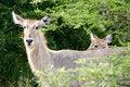 Free African Waterbuck Stock Photos - 4275133