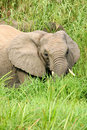 Free African Elephants Royalty Free Stock Photography - 4275197