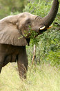 Free African Elephants Royalty Free Stock Photography - 4275407