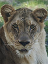 Free Lioness Stock Images - 4277714