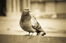 Free Pigeon Royalty Free Stock Photography - 4270527