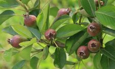 Free Growing Pears Royalty Free Stock Image - 4271276