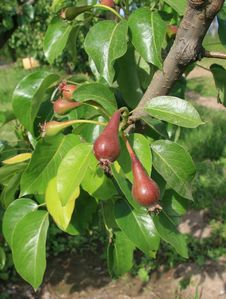 Free Growing Pears Royalty Free Stock Image - 4271316