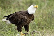 Free Bald Eagle Watching Over His Meal Stock Photos - 4271323