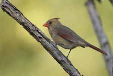 Free Female Northern Cardinal Stock Image - 4271481