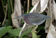 Free Green Heron Perched In The Reeds Stock Photos - 4271583