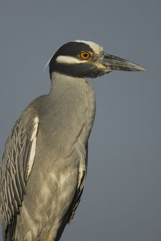 Free Yellow-crowned Night Heron Stock Photography - 4271902