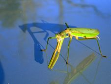 Free Preying Mantis Royalty Free Stock Image - 4272356