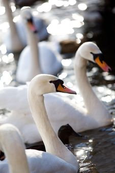 Free Four Lovely Swans Stock Images - 4272644