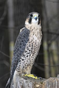 Free Falcon Royalty Free Stock Photos - 4272678