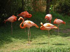 Free Flamingos Stock Images - 4273124