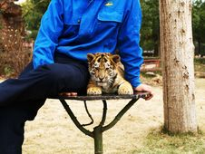 Free Little Tiger And Trainer Royalty Free Stock Photography - 4273357