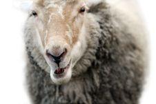 Free Smiling Sheep Royalty Free Stock Photos - 4273648
