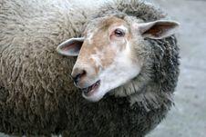 Free Smiling Sheep Royalty Free Stock Image - 4273656