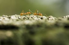 Free Ant Royalty Free Stock Photos - 4273688