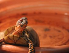 Free Turtle In Dish Royalty Free Stock Photo - 4273765