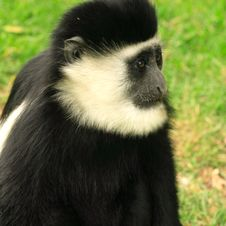 Single Colobus Monkey Stock Images