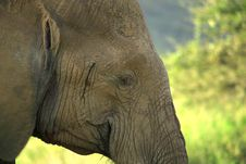 Free Close Up Of An Elephant Royalty Free Stock Images - 4274129