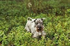 Free Miniature Schnauzer Stock Photo - 4274180