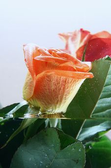 Free Rose And Water Royalty Free Stock Photography - 4274967
