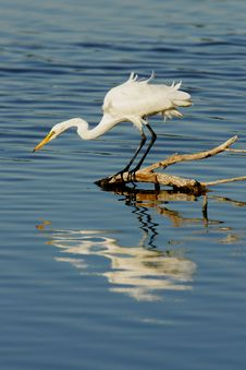 Free Great Egret Royalty Free Stock Photo - 4275125