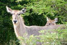 Free African Waterbuck Stock Photos - 4275133