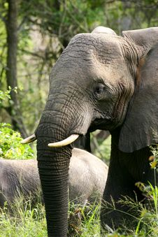 Free African Elephants Stock Photos - 4275153