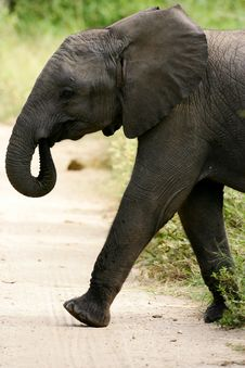 Free African Elephants Royalty Free Stock Images - 4275159