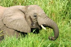 Free African Elephants Royalty Free Stock Photo - 4275165