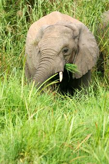 Free African Elephants Royalty Free Stock Photography - 4275217