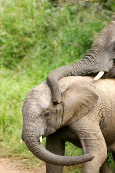 Free African Elephants Royalty Free Stock Image - 4275316