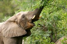 Free African Elephants Stock Photography - 4275452