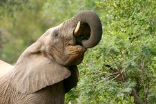Free African Elephants Stock Photography - 4275462