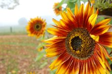 Free Sunflowers Stock Images - 4277044