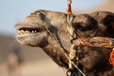 Free Smiling Camel Stock Images - 4277084