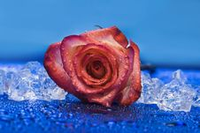 Free Ice With Rose On Blue Stock Photo - 4277390