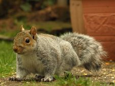 Free Grey Squirrel Royalty Free Stock Photography - 4277557