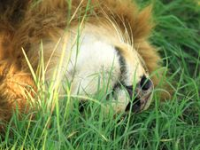 Free Lion Sleeping Royalty Free Stock Images - 4278499