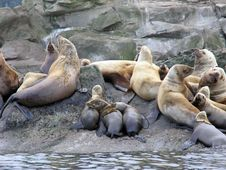 Stellar Sea Lion Pups 1 Stock Image